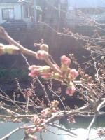 桜3月23日1