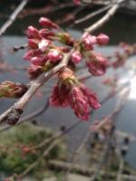 桜3月24日2