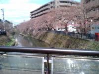 桜3月27日1