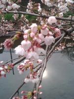 桜4月1日1