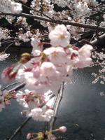 桜4月2日1