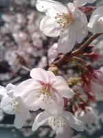 桜4月2日2