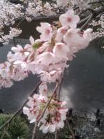 桜0404-1