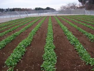 1.25菜の花畑