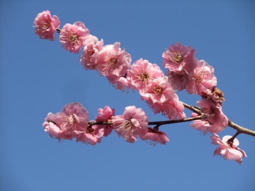 3-12ピンクの梅の花