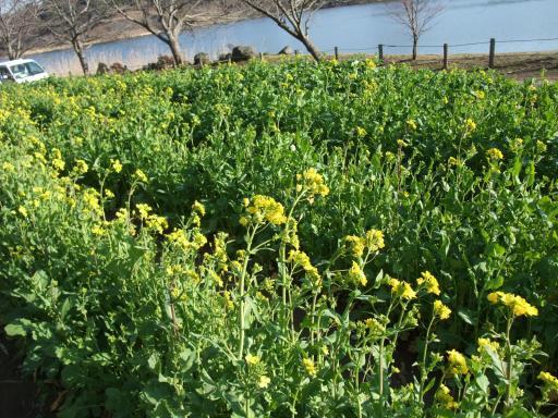 3-12菜の花1