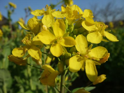 3-12菜の花2