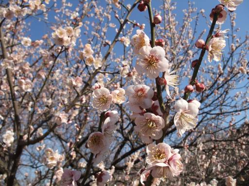 3-12白い梅の花