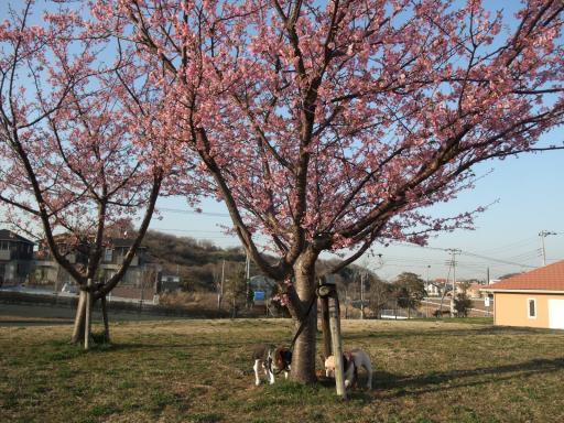 3-18桜②