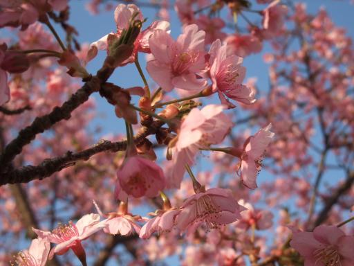 3-18桜①