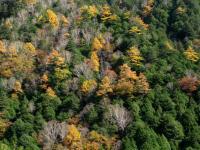 樹 中房温泉から有明山斜面 広葉樹と針葉樹のハーモニー 101101_cIMG_4860