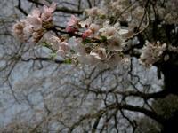 F エドヒガン 立屋の桜 110502_cIMG_9406