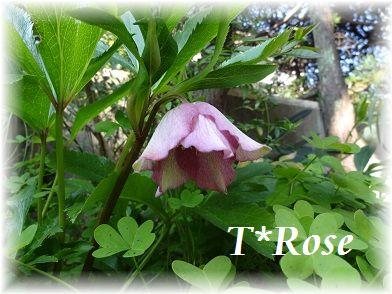 T*Rose