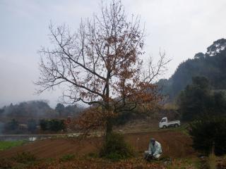 椎の木の見納め