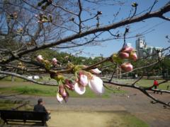 爆心地公園の桜