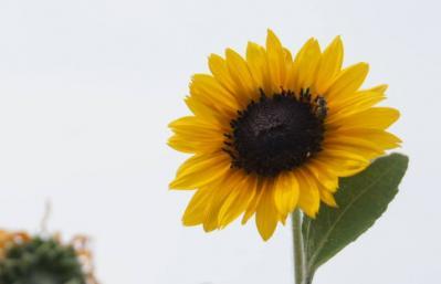 遊歩道の向日葵