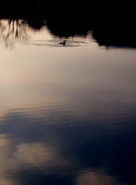 川鵜のいる朝