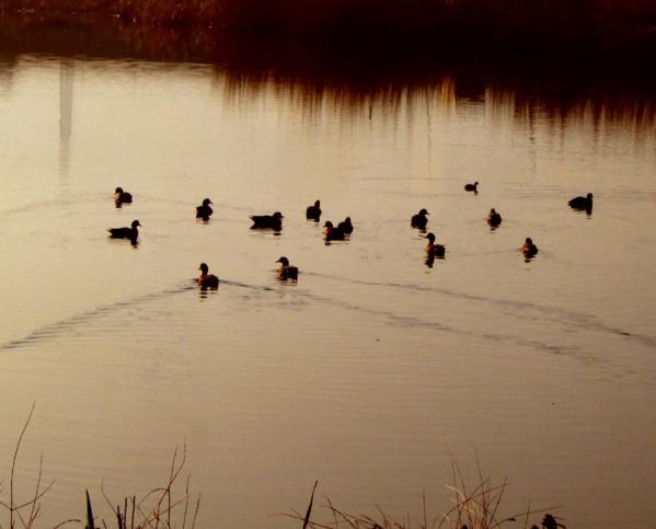 鴨の居る朝