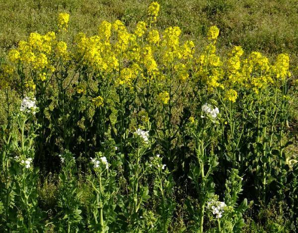 大根・ほうれん草の花