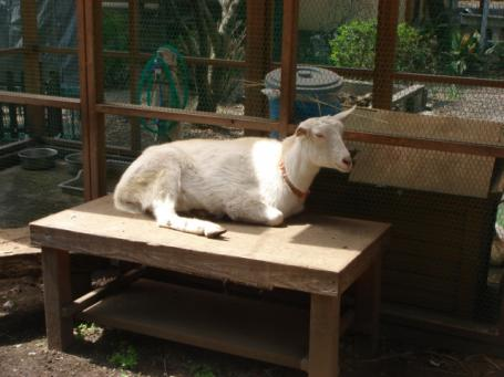 比呂佐和神社のヤギ