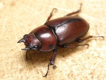 ssp.castaneus   ♀ (2)