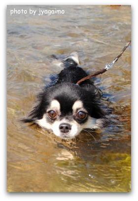 ポテト泳ぐ