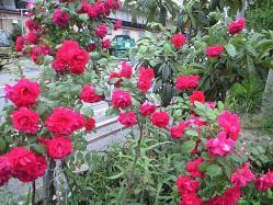 roses_may22_2010.jpg