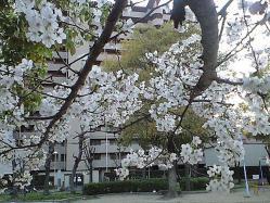 sakura_apr3_2010.jpg