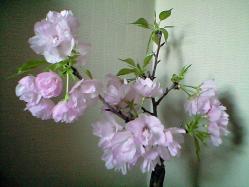 sakura_home2.jpg