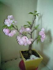 sakura_home_20100418131536.jpg