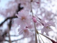 しだれ桜1103
