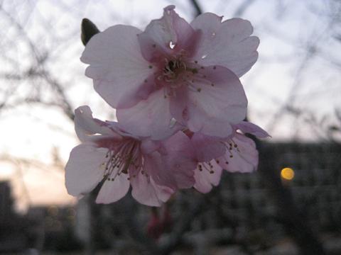 IMG_2699桜