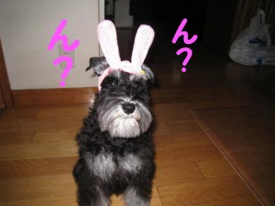アコウサギ (1)