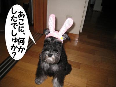 アコウサギ (2)