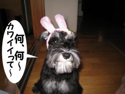 アコウサギ