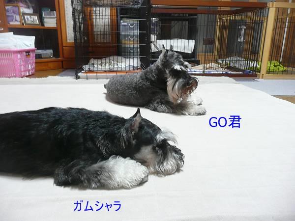 GOガムシャラ10月26日-s