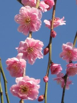梅の花 2012