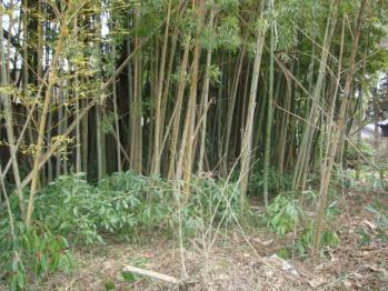 4年くらい放置した竹林