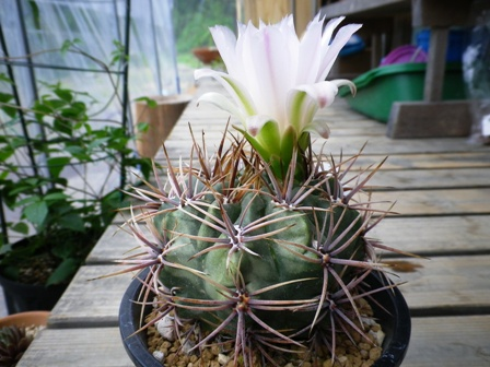 G monvillei ssp achirasense 2