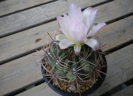 G monvillei ssp achirasense