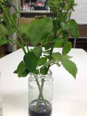 バラの茎をリーフ液に挿します。