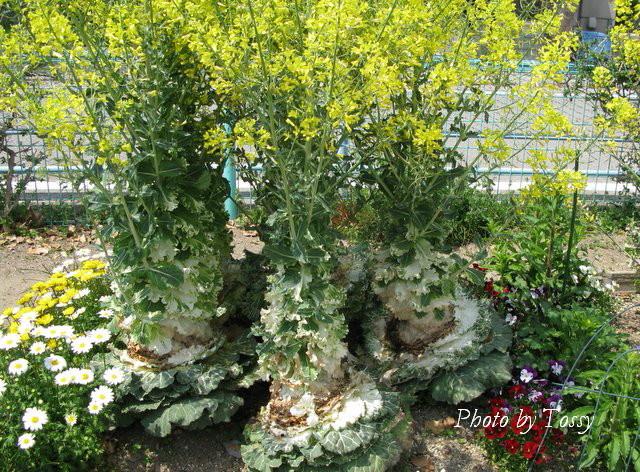 ハボタン 花