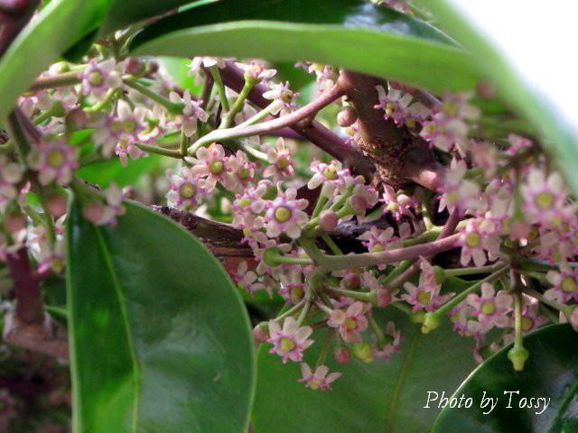 クロガネモチ 花