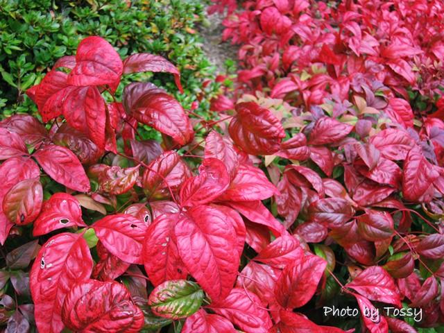 オタフクナンテン 紅葉
