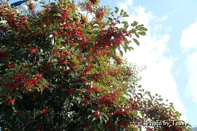 クロガネモチ 木