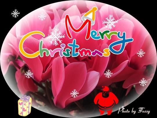 シクラメン クリスマス