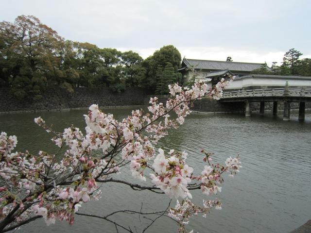 皇居周辺の桜1