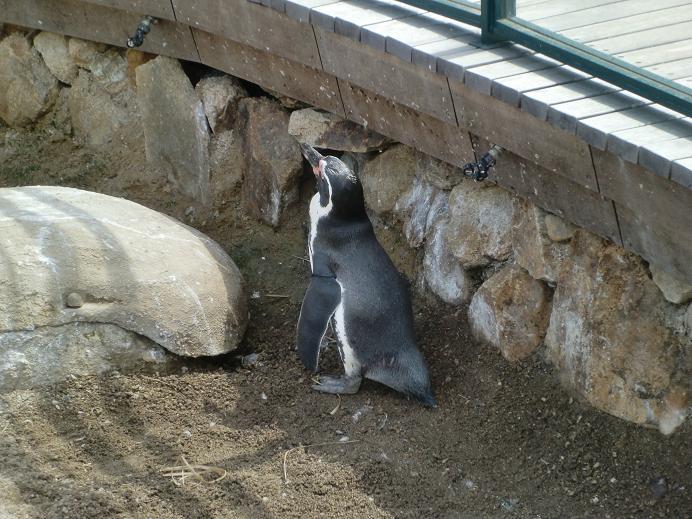 ペンギン館10