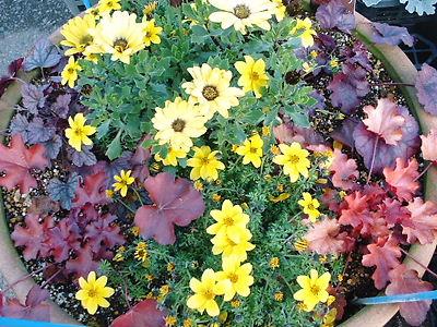 ヒューケラと花の寄せ植え