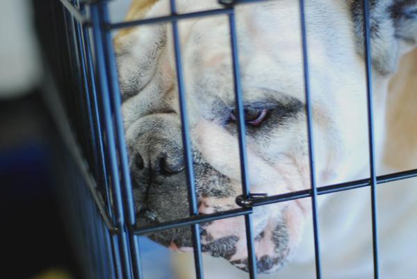 bulldog05_20100114220709.jpg